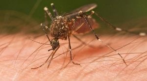 Insetos Perigosos Mosquitos